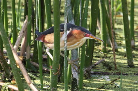 Least Bittern (Ixobrychus exilis) in the Florida Everglades