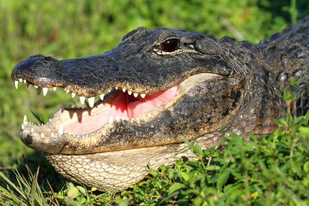 gator: American Alligator (alligator mississippiensis) basking in the sun in the Florida Everglades Stock Photo