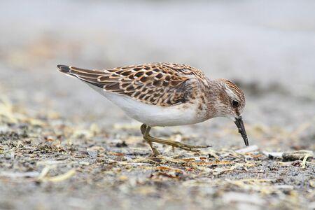 Least Sandpiper (Calidris minutilla) by the Pacific Ocean Stock Photo