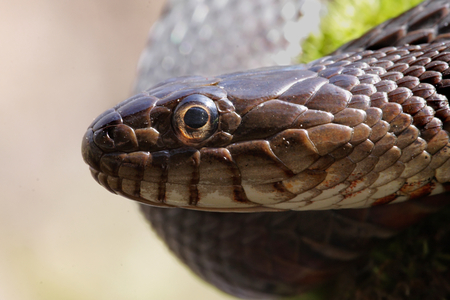 slither: Northern Water Snake (nerodia sipedon) sunning itself in spring