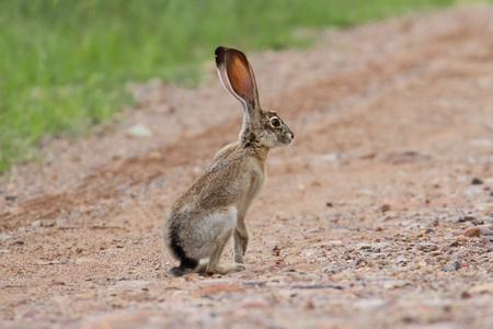 アリゾナ州の砂漠で黒尾野うさぎ (うさぎ座ミヤコカブリダニ)