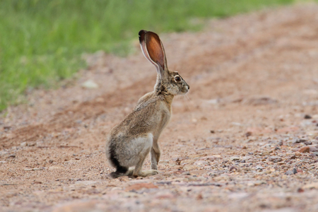 Black-tailed Jackrabbit (Lepus californicus) in the Arizona desert Standard-Bild