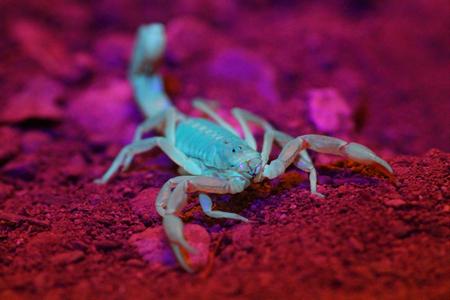 Yellow Ground Scorpion (Vaejovis confusus) under black (ultraviolet) light Stock Photo