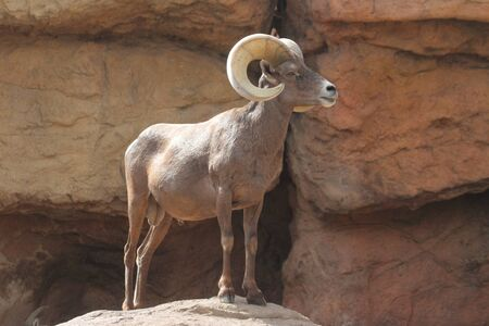 ovis: Male Bighorn Sheep (Ovis canadensis) on a rocky cliff Stock Photo