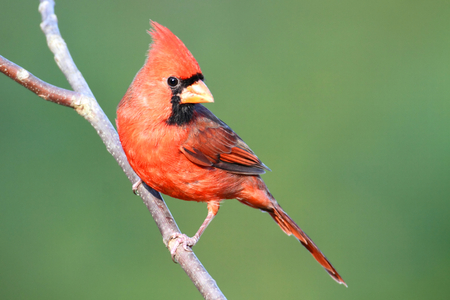 Male Northern Cardinal (cardinalis cardinalis) on a branch with a colorful background