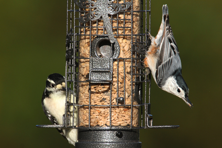 downy woodpecker: Downy Woodpecker (Picoides pubescens) and White-breasted Nuthatch (sitta carolinensis) on a feeder with a green background