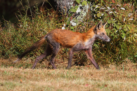 Red Fox (vulpes) Inflicted with Mange in a field