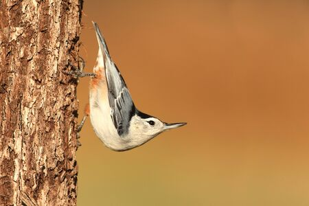 carolinensis: White-breasted Nuthatch (sitta carolinensis) on a tree trunk with a brown background
