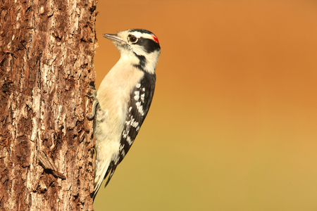 downy woodpecker: Downy Woodpecker (Picoides pubescens) on a perch with a brown background Stock Photo