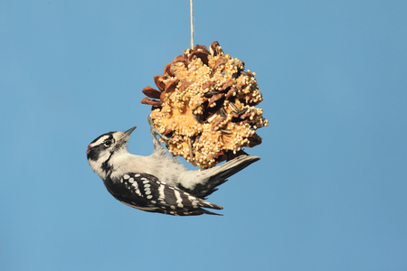 downy woodpecker: Downy Woodpecker (Picoides pubescens) on a suet feeder pine cone with a blue background