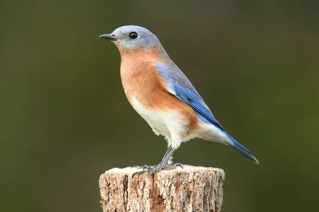 Female Eastern Bluebird (Sialia sialis) on a perch