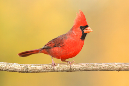 avian: Male Northern Cardinal (cardinalis) on a branch in winter