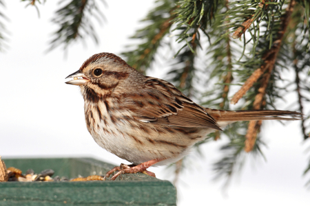 Song Sparrow (Melospiza melodia) perched on a feeder with snow