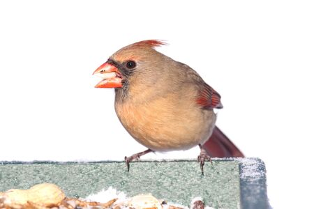 female cardinal: Female Northern Cardinal (cardinalis cardinalis) on a feeder in winter - isolated on white