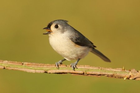 titmouse: Tufted Titmouse (baeolophus bicolor) on a stick with a green background