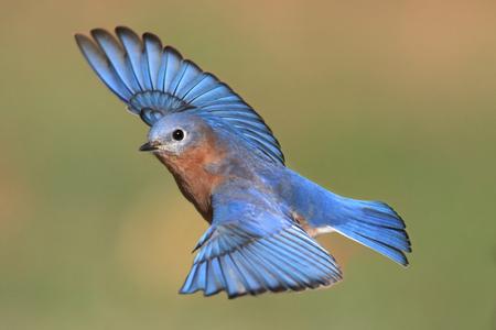 Mannelijke Oost Bluebird (Sialia sialis) tijdens de vlucht