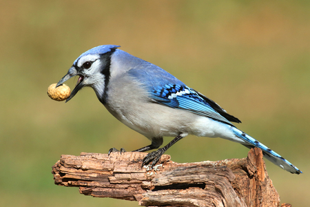 blue jay bird: Close-up of a Blue Jay (corvid cyanocitta) eating peanuts with a green background