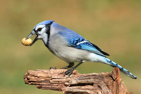 green jay: Primer plano de un Blue Jay (cyanocitta córvidos) comer maní con un fondo verde Foto de archivo