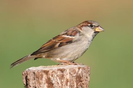 House Sparrow (Passer domesticus) zat op een boomstronk met een groene achtergrond Stockfoto