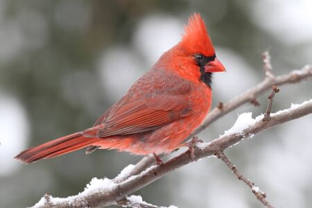 avian: Male Northern Cardinal (cardinalis cardinalis) on a branch in a snow storm Stock Photo