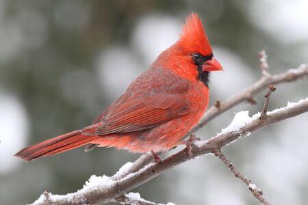 songbird: Male Northern Cardinal (cardinalis cardinalis) on a branch in a snow storm Stock Photo