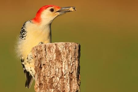 bellied: Male Red-bellied Woodpecker (Melanerpes carolinus) on a tree trunk