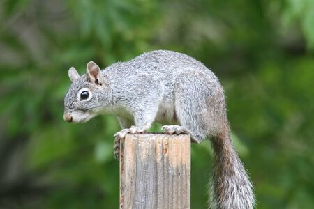 Arizona gray squirrel (Sciurus arizonensis) balanced on a fence
