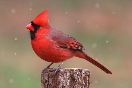 Male Northern Cardinal (cardinalis cardinalis) in a snowy scene Imagens - 34462189