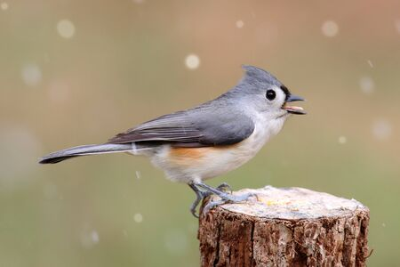 titmouse: Tufted Titmouse (baeolophus bicolor) on a tree in falling snow