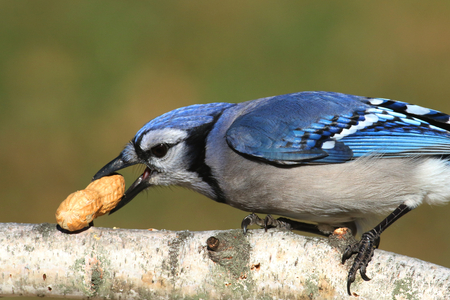 blue jay bird: Close-up of a Blue Jay (corvid cyanocitta) eating peanuts in a birch tree with a green background Stock Photo