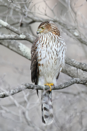 Juvenile Coopers Hawk (Accipiter cooperii) in a tree in winter Stock Photo