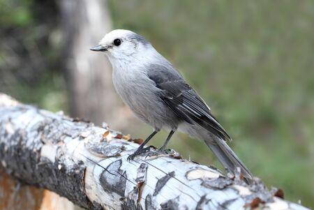 jay: Gray Jay (Perisoreus canadensis) in Yellowstone National Park