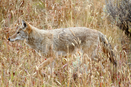 canis: Western Coyote (Canis latrans) in a field in Yellowstone National Park