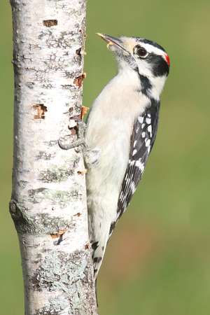 downy woodpecker: Downy Woodpecker (Picoides pubescens) on a birch tree eating peanut butter