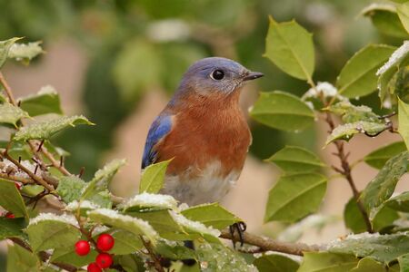 eastern bluebird: Male Eastern Bluebird (Sialia sialis) perched in a holly bush with snow