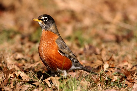 turdus: Male American Robin (Turdus migratorius) looking for worms on a lawn