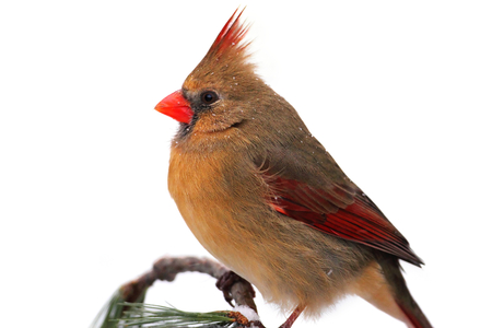 cardinal bird: Female Northern Cardinal (Cardinalis)  Isolated on a white background