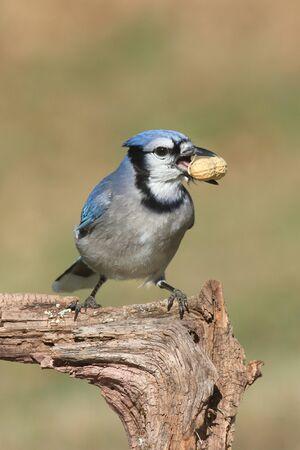 green jay: Primer plano de un Blue Jay (cyanocitta c�rvidos) comer cacahuetes con un fondo verde y espacio negativo
