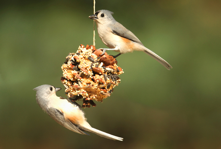 bird feeder: Tufted Titmouse (baeolophus bicolor) on a suet feeder pine cone