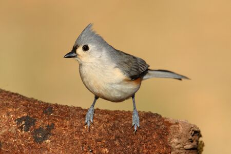 tufted: Tufted Titmouse (baeolophus bicolor) on a stump with a brown background Stock Photo