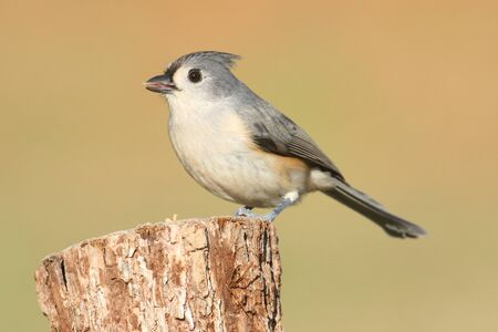 titmouse: Tufted Titmouse (baeolophus bicolor) on a stump with a brown background Stock Photo