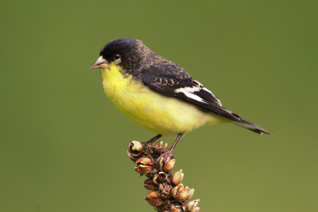 goldfinch: Male Lesser Goldfinch (Carduelis psaltria) on a mullion stalk with a green background