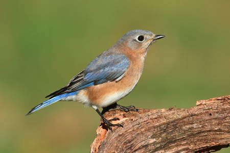 bluebird: Female Eastern Bluebird (Sialia sialis) on a perch