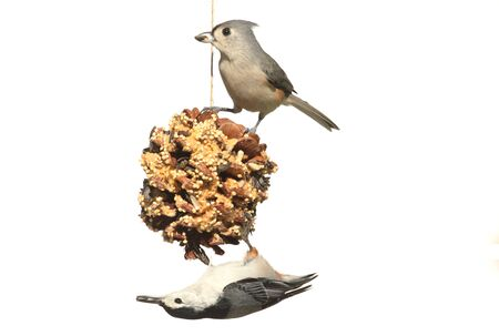 bird feeder: Tufted Titmouse (baeolophus bicolor) and White-breasted Nuthatch (sitta carolinensis) on a suet feeder pine cone on a white background