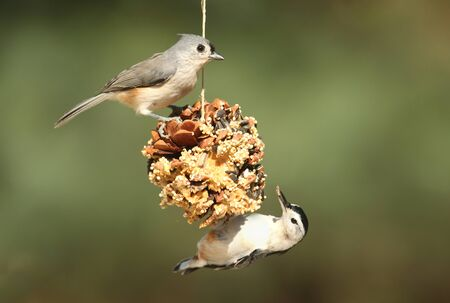 carolinensis: Tufted Titmouse (baeolophus bicolor) and White-breasted Nuthatch (sitta carolinensis) on a suet feeder pine cone