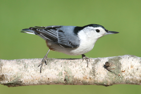 White-breasted Nuthatch (sitta carolinensis) on a Birch tree branch with a green background Stock Photo