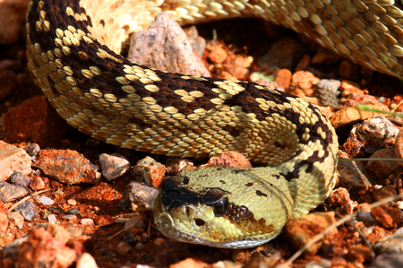 coiled: Black-tailed Rattlesnake (Crotalus molossus) coiled to strike in the desert