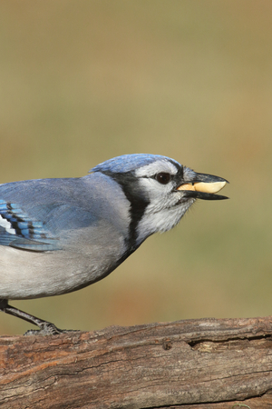 negative space: Close-up of a Blue Jay (corvid cyanocitta) eating peanuts with a green background and negative space