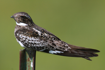 minors: Common Nighthawk (Chordeiles minor) on a post in Oklahoma with a green background
