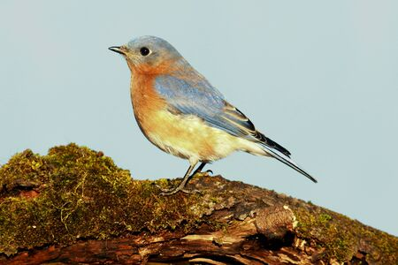 bluebird: Eastern Bluebird (Sialia sialis) on a moss covered perch with a blue background Stock Photo
